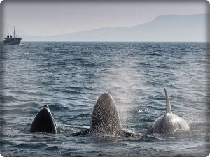 The first migration of orca whales between Iceland and Italy