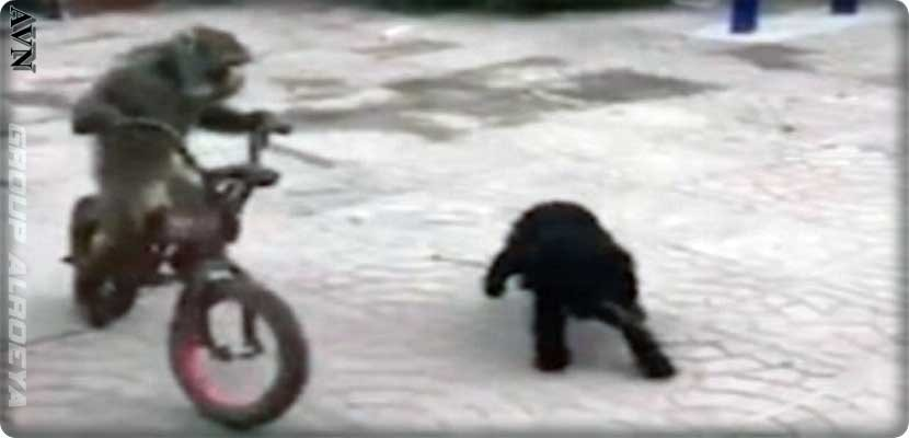 Video, the monkey steals a bicycle from a child and the dog stalks him