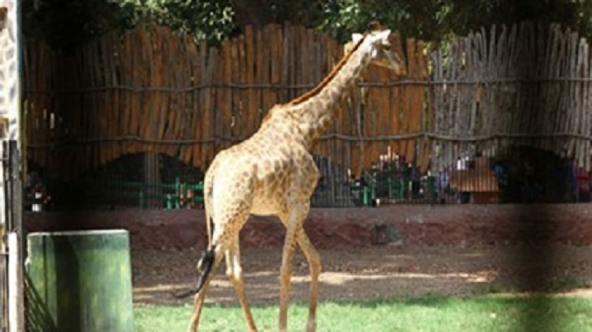 "The tale of the widowed giraffe ""Sunsen"" at the Giza Zoo"
