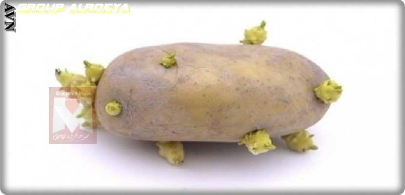 buds on the potato